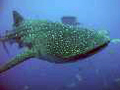 Whale-shark-project-aware-belize