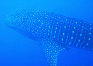 Whale-shark-specialty-course-Placencia-Belize