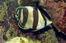fish-id-naturalist-placencia.jpg