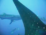 placencia-whalesharks-specialty-padi-course