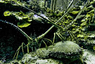 lobster southern belize