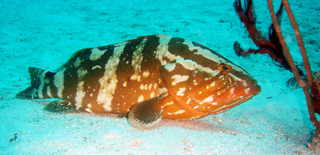 grouper belize glovers scuba fun dives