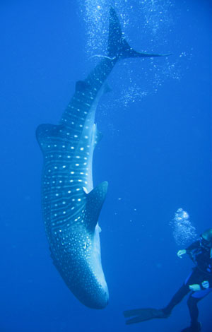 scuba-diving-with-whalesharks-trips-belize