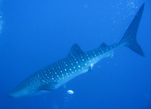 scuba whale sharks placencia belize