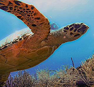 turtle-inner-reef-belize-scuba-dive-trip