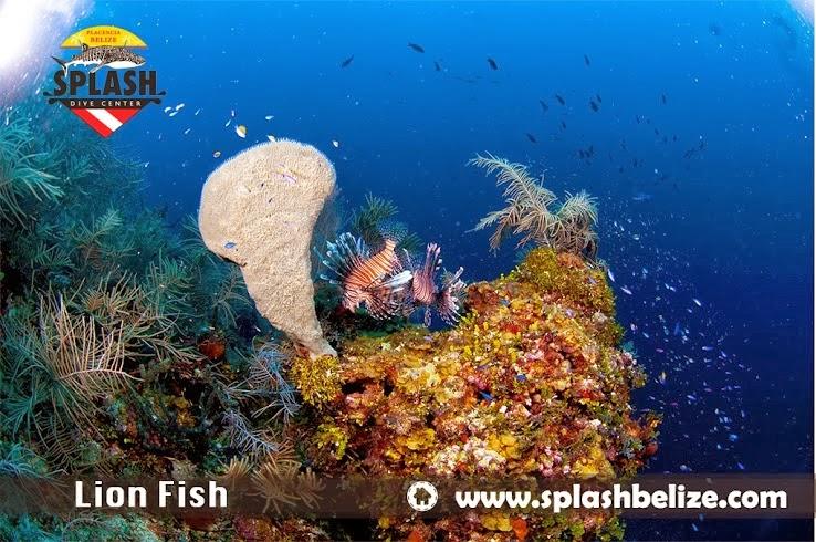 Belize Lionfish
