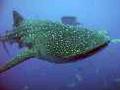 Whale-shark-Gladden-Spit-Belize