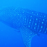 whale-sharks-placencia-belize-snorkeling-5