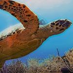 turtle-inner-reef-belize-3